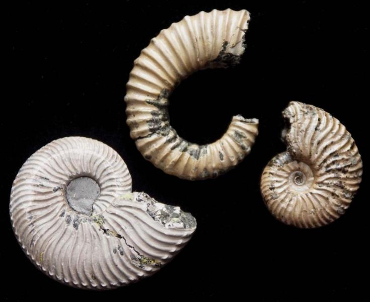 72-britains-mesozoic-fossils-lower-cretaceous-ammonites
