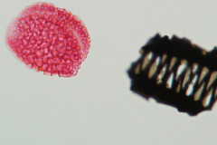 POLLEN GRAINS: FOSSILS NOT TO BE SNIFFED AT