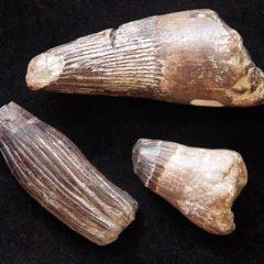 Cretaceous Mosasaur teeth