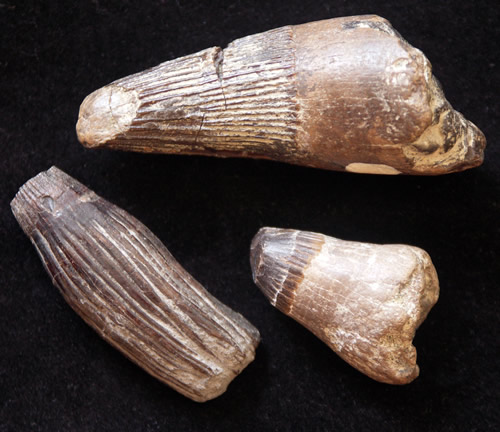 Cretaceous Mosasaur teeth