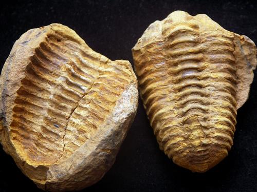 Devonian Calymene