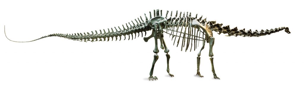 The 26-metre Diplodocus skeleton is a museum icon and has been on display for more than 100 years. Found in Wyoming, USA.