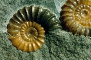 Ammonite_pair_1
